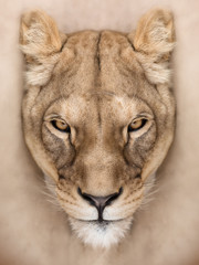 Fototapete - Mighty lioness