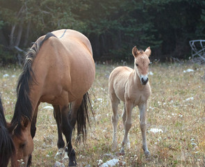 Curious Baby Foal Colt Wild Horse Mustang with his buckskin mother in the Pryor Mountains Wild Horse Range on the border of Wyoming and Montana United States