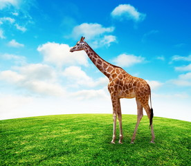 Giraffe on summer grass lawn with sky