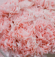Wall Mural - Close up on fresh pink carnations background