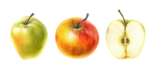 Red and green apples in watercolor isolated on white background. Hand drawn botanical illustration.