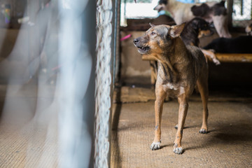 Thai dog in the cage