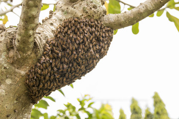 bees were nesting in the trees.