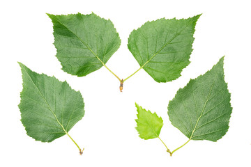Set of leaves: birch. Close up isolated