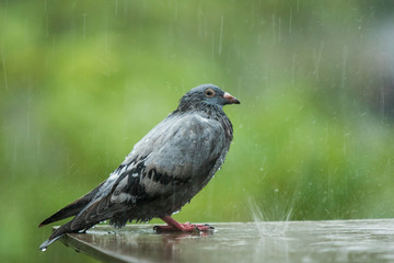 lonely homeless pigeon bird standing in hard raining