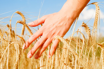 Image of man's hand and rye spikelets