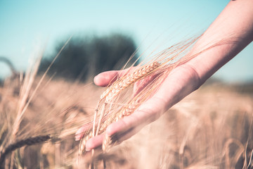 Toned photo of spikelets in hand