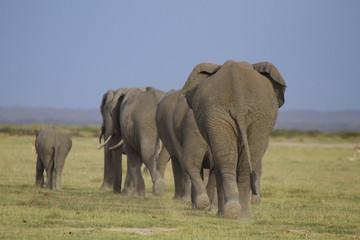 Afrikanische Elefanten (Loxodonta africana), Gruppe von hinten, Amboseli, Nationalpark, Kenia, Ostafrika