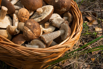Close up view of brown cap boletus in the wicker basket on natural background.