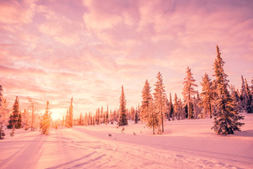 Snowy landscape at sunset, pink light, frozen trees in winter in Saariselka, Lapland, Finland
