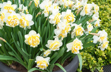 White double narcissus flowers.