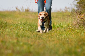 Beagle Mantrailing