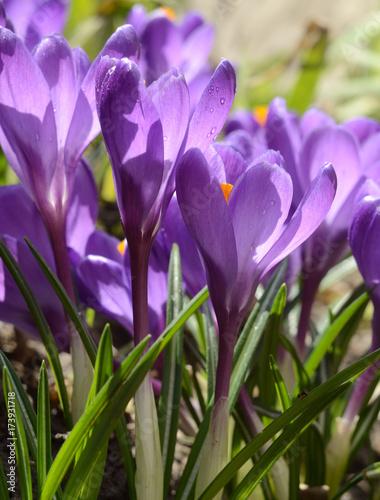 Beautiful first spring flowers crocuses bloom under bright sunlight beautiful first spring flowers crocuses bloom under bright sunlight spring holidays backdrop mightylinksfo