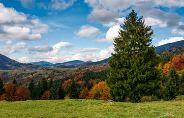 giant spruce tree in mountainous autumnal scenery. beautiful landscape with colorful foliage forest on a cloudy day