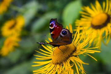 Side Angle View Of Beautiful European Peacock Butterfly Or Aglais Io Gathering Pollen From Yellow Flower