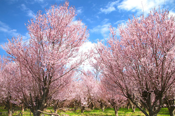 花木団地の桜(郡山市)