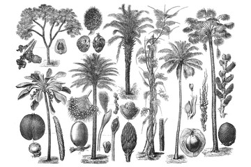 Illustrations of Palm. Set on white background