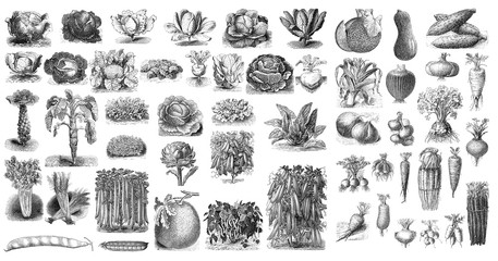 Illustration of vegetables on a white background.
