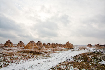 Common reed harvest storing crops in winter season