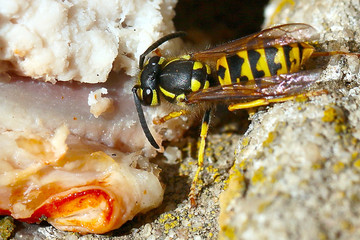 A dangerous predatory wild wasp in the lateral conditions of life