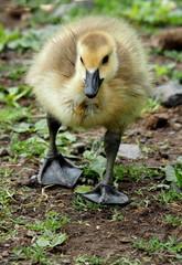 Little baby gosling birds