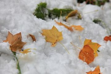 雪の中の紅葉