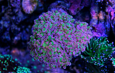 Frogspawn LPS coral