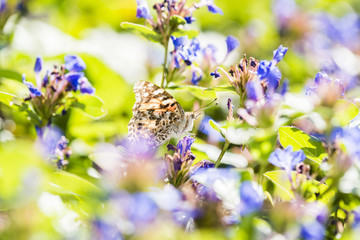 Painted Lady Butterfly Perched on Bright Colorful Flowers