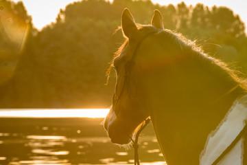 Pferd blickt im Sonnenaufgang auf den See