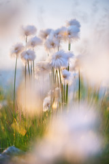 Delicate flowers of cotton grass in the wind in sunset light.
