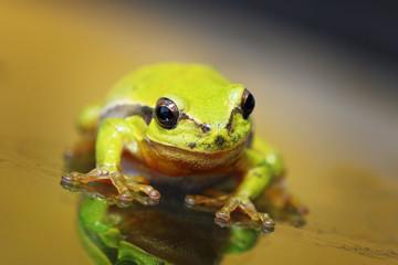 closeup of cute tree frog
