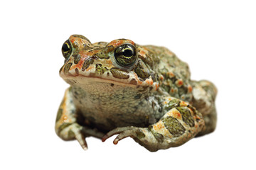 cute european green toad on white background