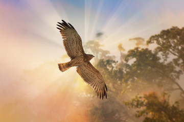 Wall Mural - Bird of prey ,short toed snake eagle flying across twilight sky at sunset. Bird watching and photography is a good hobby to educate wildlife reserve attitude.. .