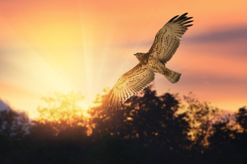 Wall Mural - Bird of prey ,short toed snake eagle flying across twilight sky at sunset. Bird watching and photography is a good hobby to educate wildlife reserve attitude.