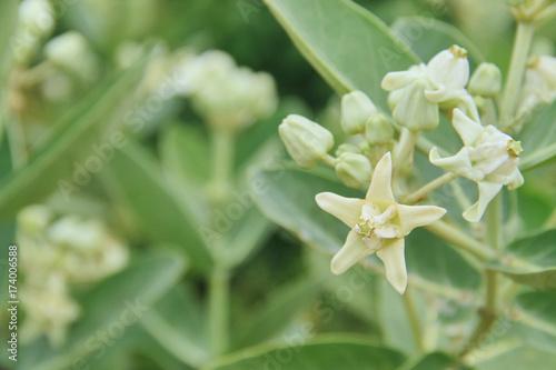 White flowers giant indian milkweed stock photo and royalty free white flowers giant indian milkweed mightylinksfo