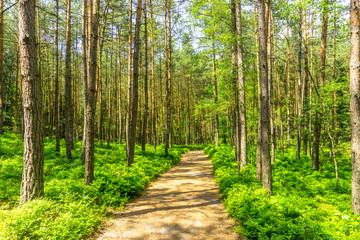 Wanderweg durch einen Kiefernwald