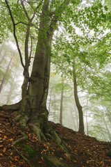 Misty beech forest