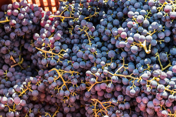 Large bunche of red wine grapes hang from a vine. Ripe grapas