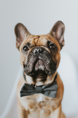 Dapper French Bulldog Puppy in a Bowtie