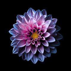 Spoed Fotobehang Dahlia Surreal dark chrome pink and purple flower dahlia macro isolated on black