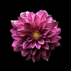 Poster Dahlia Surreal dark chrome pink flower dahlia macro isolated on black