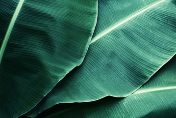 Beautiful tropical banana leaf texture background Fotoväggar