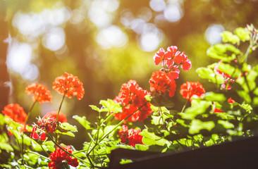 Balcony flowers, home garden with blossom of geranium