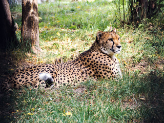 Cheetah lies and looks. The rays of the sun warm his face.