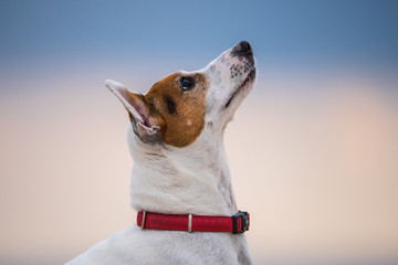 Jack Russell Terrier dog  looking at his owner