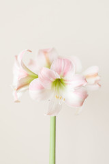 Amaryllis flower with stem