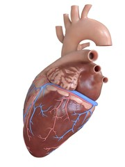 3d rendered medically accurate illustration of the side of the heart