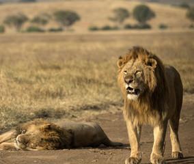 Male lion standing looking forward as second lion sleeps, Tarangire National Park, Tanzania, Africa
