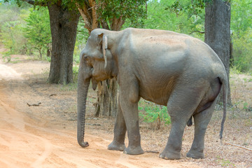 Wild Elephant In Yala National Park.  Yala Is The Most Visited And Second Largest National Park In Sri Lanka