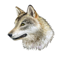Portrait of a wolf isolated on white background. Watercolor. Illustration. Image. Picture